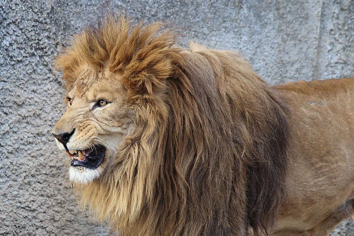 ライオン(オス)