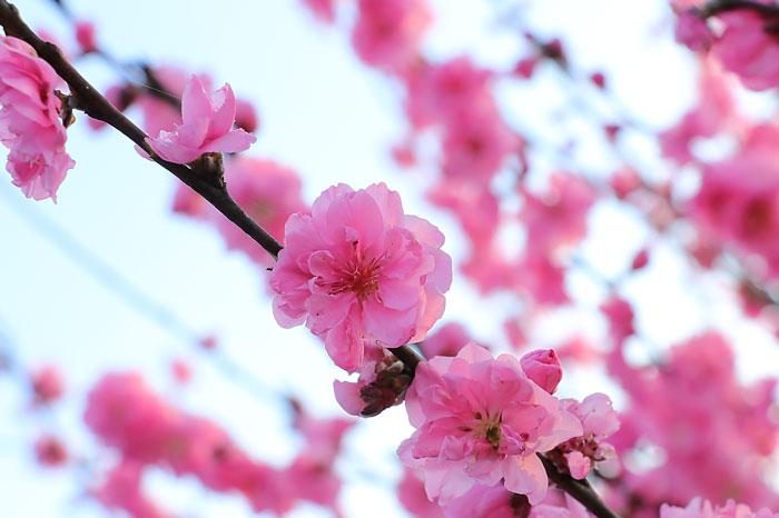 ピンク色の桃の花