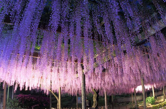 垂れ下がる藤の花のライトアップ