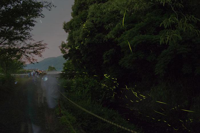 鈴鹿ほたるの里八島川を飛ぶホタルと観賞する人