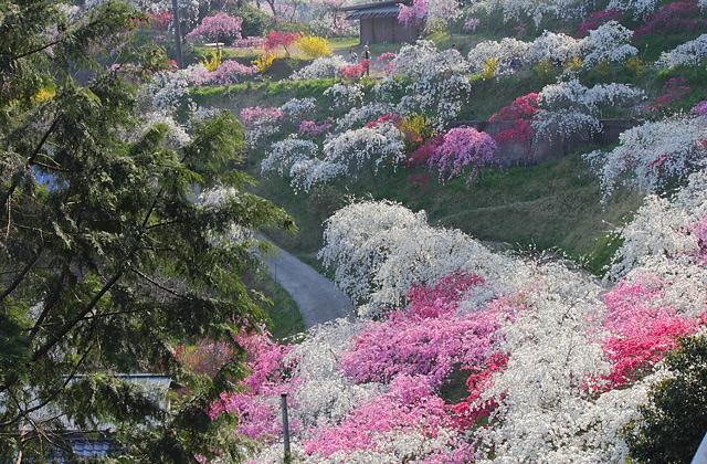 山の斜面に群生する色鮮やかな桃の花