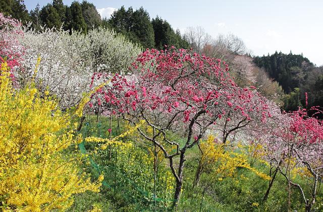 黄色と赤と白の桃の花