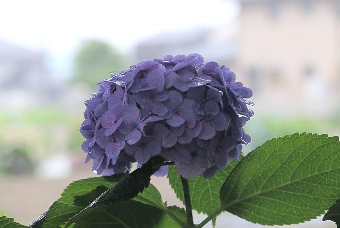 雨に濡れた薄紫色の紫陽花