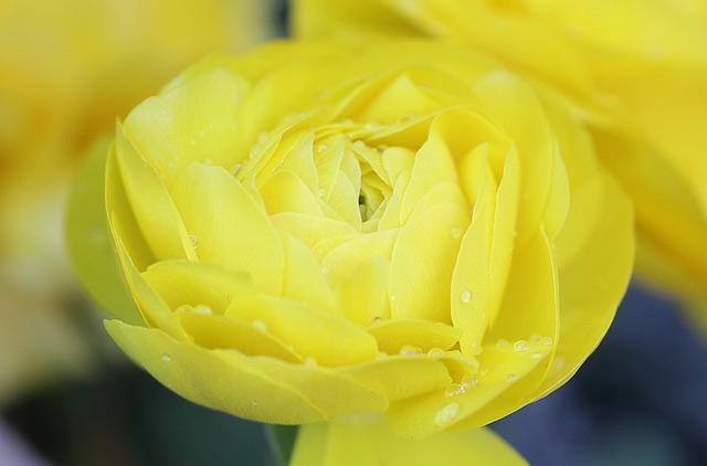 黄色のプリムラ