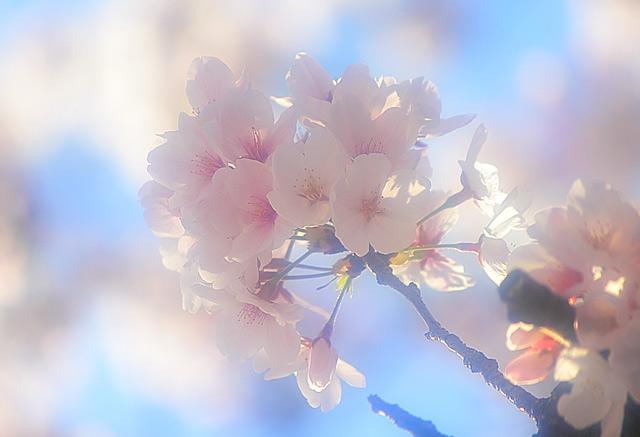 桜のソフトフォーカス