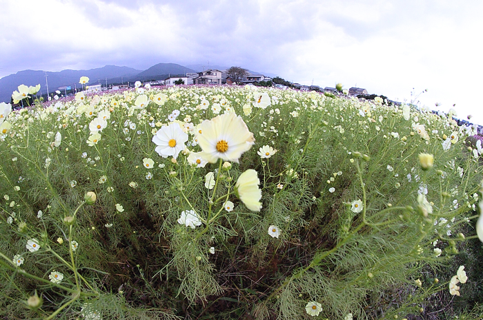 8mm魚眼レンズで撮った菰野町の黄色のコスモス畑