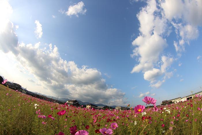 全周魚眼レンズで撮った亀山市コスモス畑と空