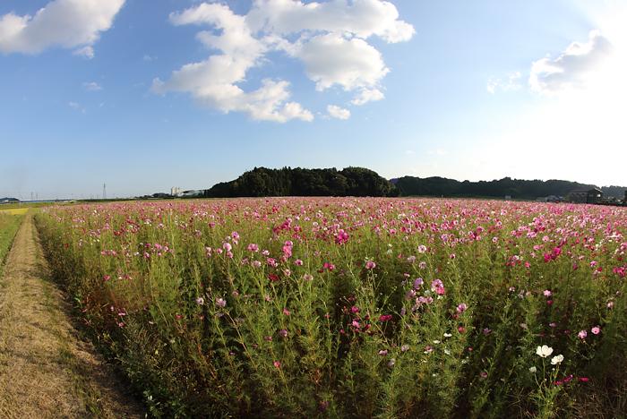 亀山市のコスモス畑と土手