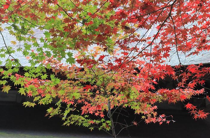 緑と赤のコントラストがきれいな紅葉