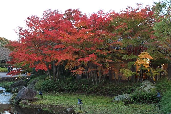 朱色の色づくなばなの紅葉