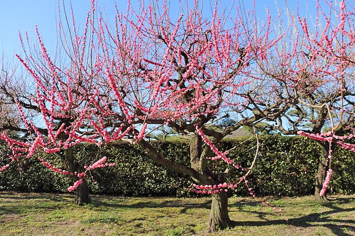 遅咲きの梅(記念)