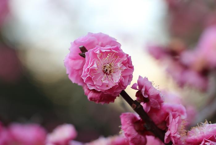 淋子梅の花・接写