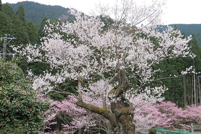 樹齢400年を超えるエドヒガン