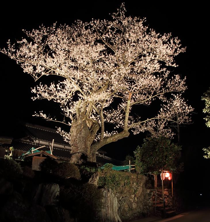 ライトアップされた春谷寺のエドヒガン桜
