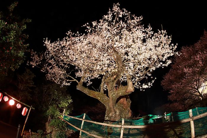 ライトアップされた樹齢400年のエドヒガン