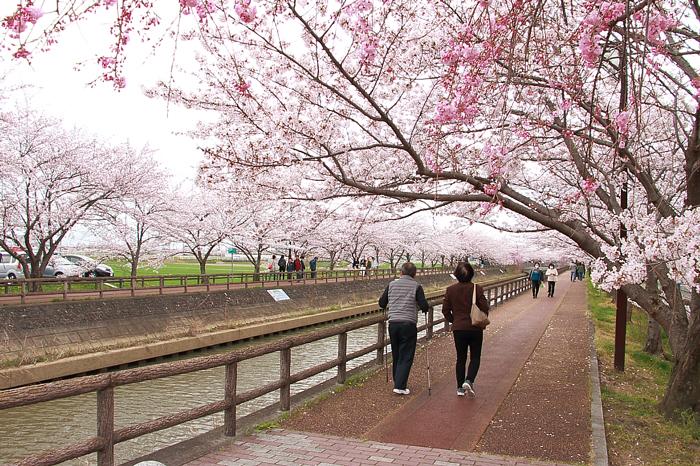 日光川沿いの桜ネックレス