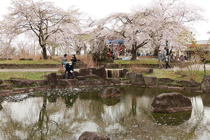 小公園の桜