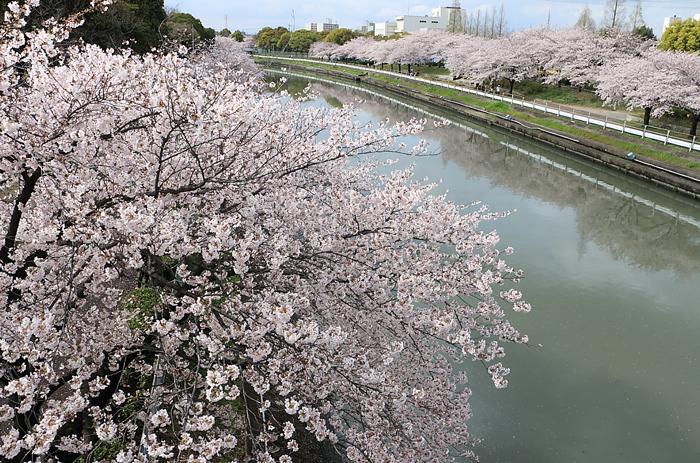 荒子川と桜