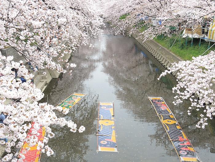 桜と五条川に浮かぶ鯉のぼり