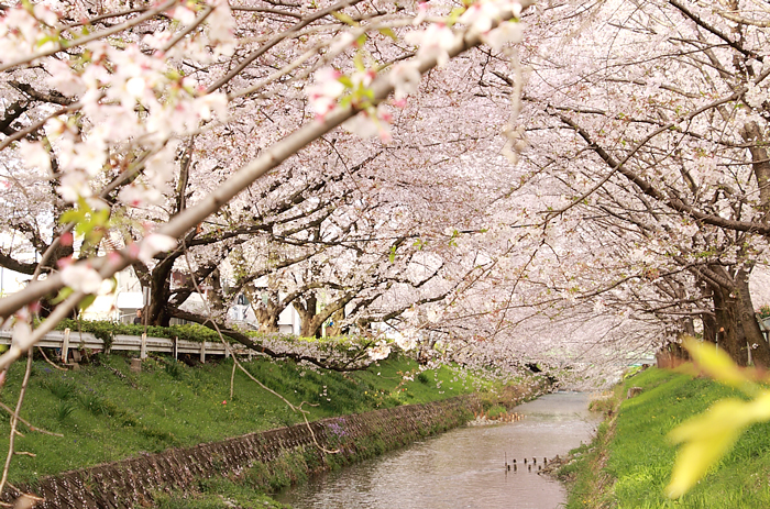 黒川を覆う桜の屋根