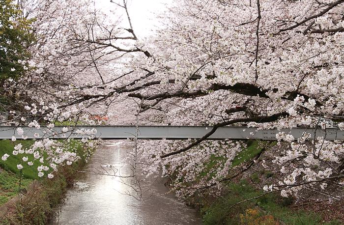 鉄骨と黒川と桜