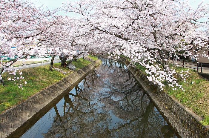 五条川に映る桜
