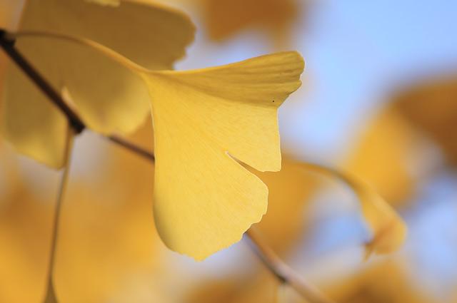切れ込みの深い銀杏の葉