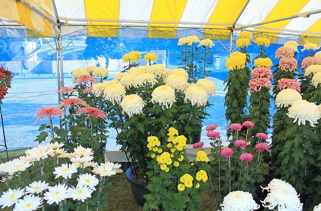 白と黄色とピンク色の菊の束