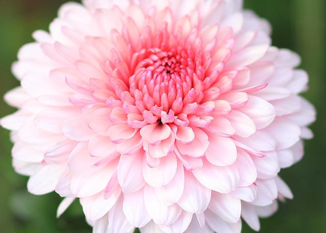 ピンクと白の大菊