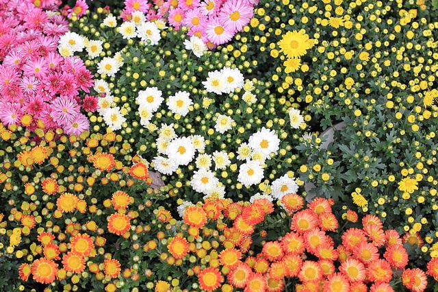 小菊の花壇