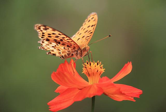 キバナコスモスの蜜をすう蝶