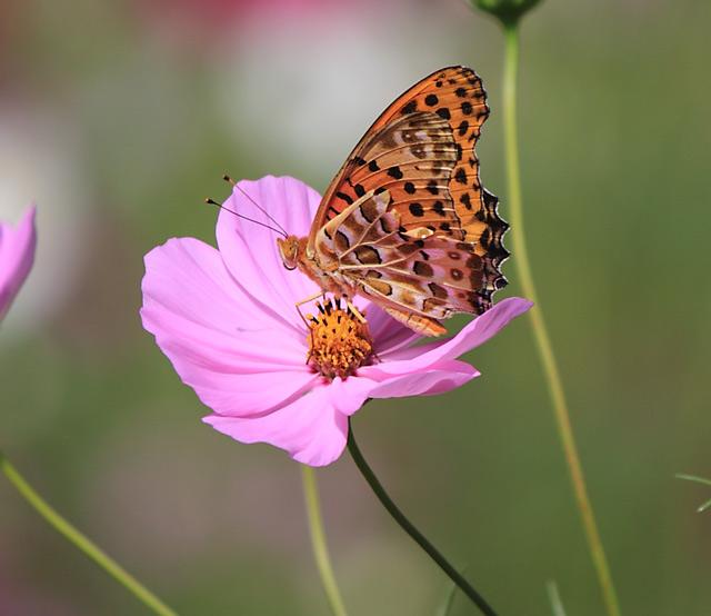 コスモスに止まった蝶