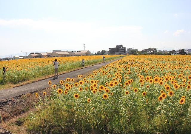 大垣のひまわり畑
