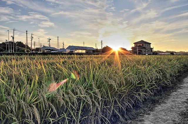 矢勝川のイネと太陽