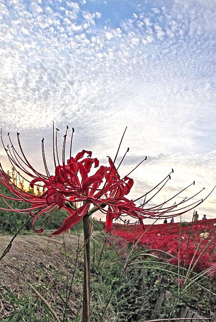 矢勝川の彼岸花といわし雲