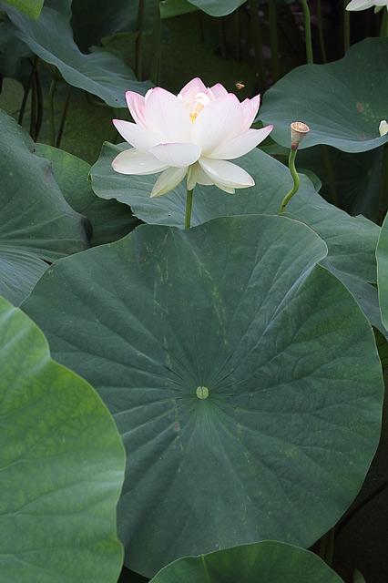 蓮の葉と白い花