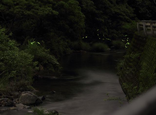 多度川のゲンジボタル