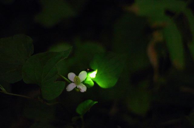 花の下で発行するホタル