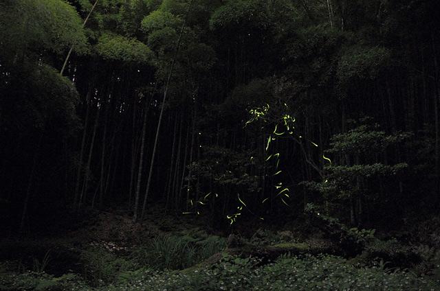 森林に生息する蛍