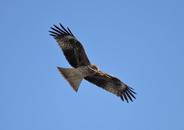 巣作りをする鷹