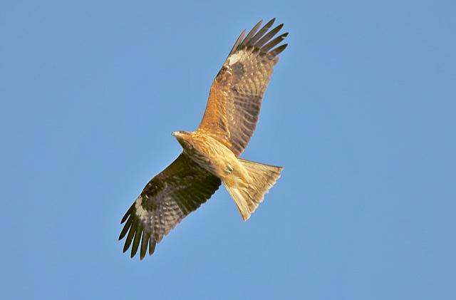 大空を飛翔する鷹