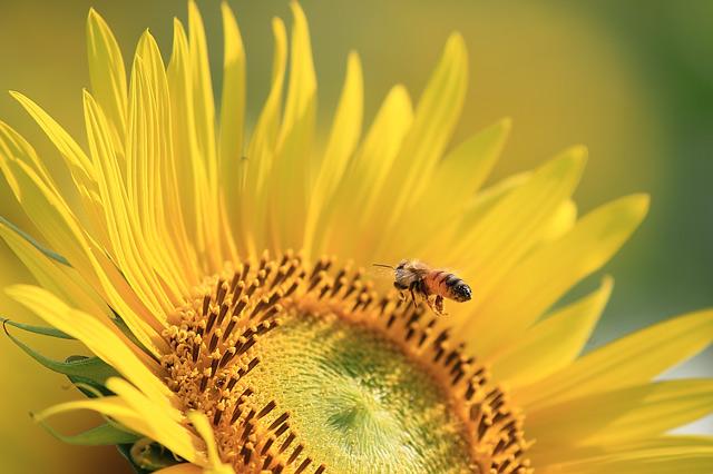 蜜蜂とひまわり