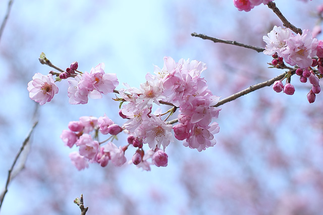 八重咲きのさくら