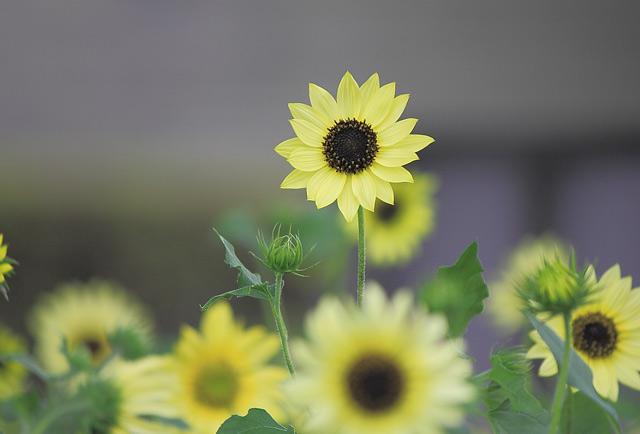小輪の向日葵