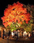 ライトアップされた大きなもみじの木と人だかり