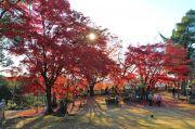 イロハモミジの巨木と太陽