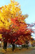 大きな銀杏の木