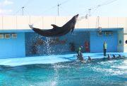 バンドウイルカのジャンプ