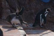 羽を広げて口を開けたペンギン