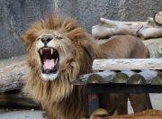 吠えるライオン(オス)